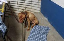 Polícia Civil do Paraná resgata 19 cães em rinha de SP; churrasco com carne de cachorro era servido