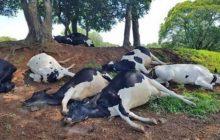 Raio mata sete novilhas avaliadas em mais de R$ 60 mil
