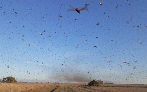 Nuvem de gafanhotos destrói lavoura de milho na Argentina e pode chegar ao Brasil