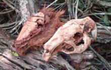 Itaipulândia: Polícia Ambiental encontra cabeças de capivaras abatidas por caçadores