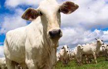 Ladrões furtam gado em São José das Palmeiras
