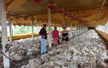 (WEB TV) 16 mil frangos mortos, a verdade dos fatos e a falta de investimentos no setor
