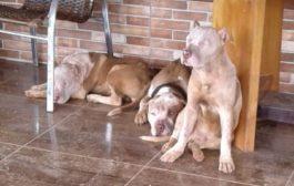 Homem morre ao ser atacado por sete pitbulls