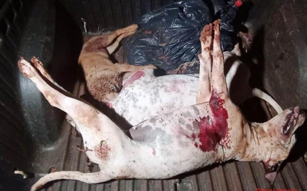 Guardas 'sacrificam' dois cachorros pitbull para salvar uma criança