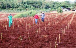 Santa Helena: Mil mudas de árvores são plantadas pelo Município em área que estava degrada