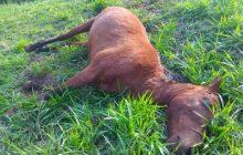 Dois cavalos agonizam até a morte após ataque de abelhas