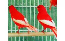 Pássaros canário belga são furtados em Santa Helena; PM encaminha receptador à DP
